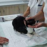 Norveçli Aile Kedisini Göz Ameliyatı için KKTC'ye Getirdi